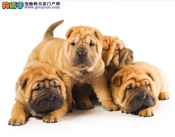 极品沙皮狗幼犬出售 血统纯正身体健康