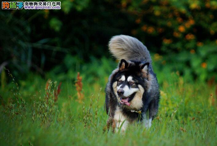 巧辨相似狗 阿拉斯加雪橇犬与哈士奇的区别和差异