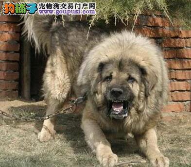 举例分析高加索犬的两大优点