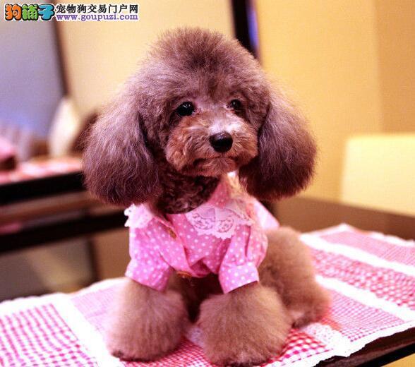 购买泰迪犬时要观察狗场或宠物店环境卫生