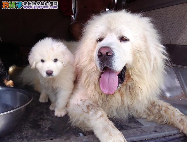 罗列挑选健康高加索犬的几个要点