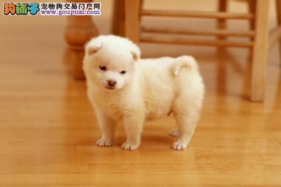 购买不再担心 主人须知的秋田犬的基本特征