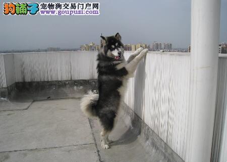 狗狗有优点 如何挑选性格优秀的阿拉斯加雪橇犬