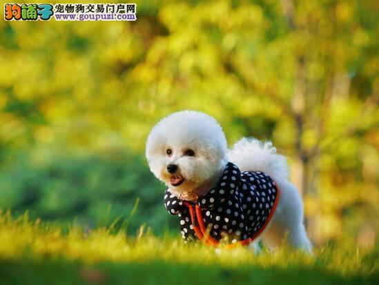 简述泰迪犬的外形特点是怎样的以及挑选的注意事项