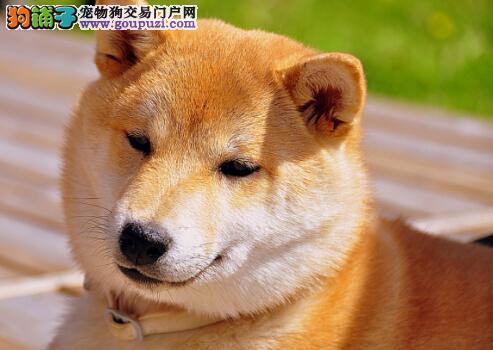 六个方面区分柴犬与纯种秋田犬之间的不同