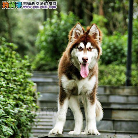 三招轻松判断阿拉斯加犬是不是一只灵活性好的犬
