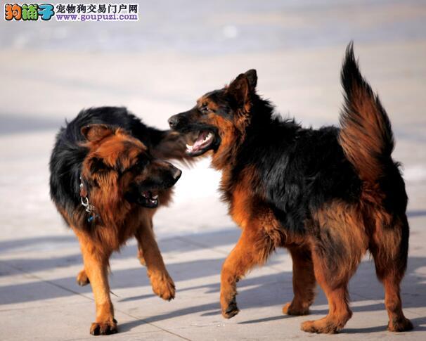 犬种知识识别 选购德国牧羊犬的要点