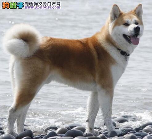 论述秋田犬与柴犬的区别要点和挑选方式