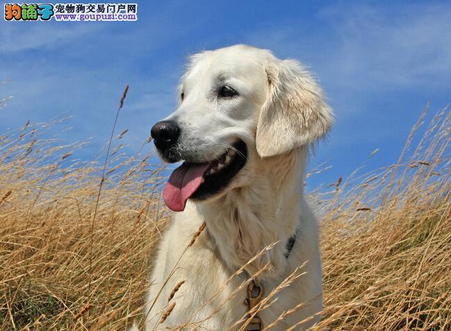 分析拉布拉多犬在性格方面上的优缺点