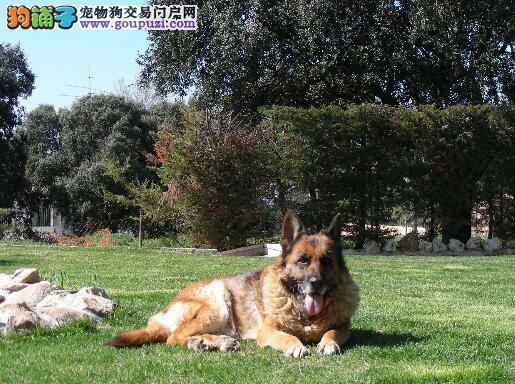 优缺点并存 德国牧羊犬的犬种优点与缺点