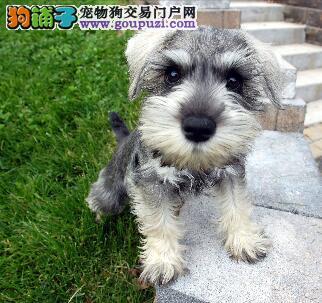 萌狗起源 标准雪纳瑞历史与犬种详情