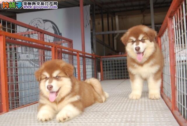 让你全面了解一下红色阿拉斯加雪橇犬的品种特点
