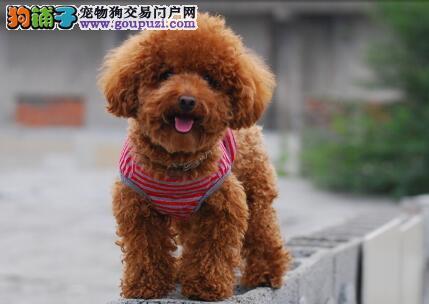 泰迪犬头部的标准特征与挑选的方法