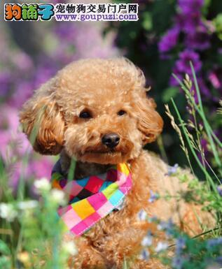 鉴别经验 纯种泰迪犬的鉴定方法