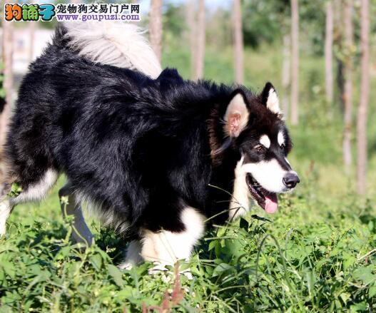 教你购买阿拉斯加雪橇犬应该掌握的几个要点