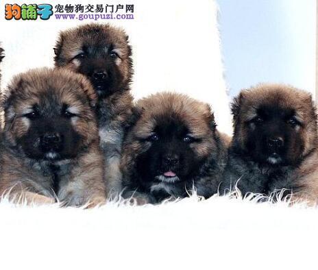 选狗入门 高加索犬身体部位的几个特征