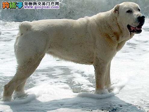 喂养观念不要错 中亚牧羊犬的饮食习惯是怎样养成的