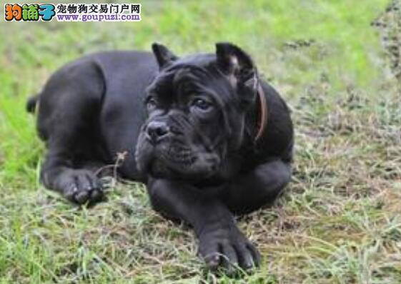 卡斯罗犬幼犬与成犬的喂养区别与注意事项
