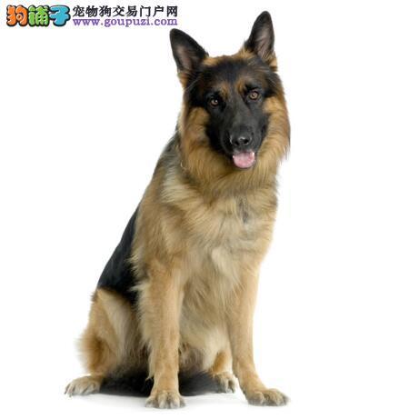 采购衣物 给狼狗选购舒适的衣服有哪些窍门