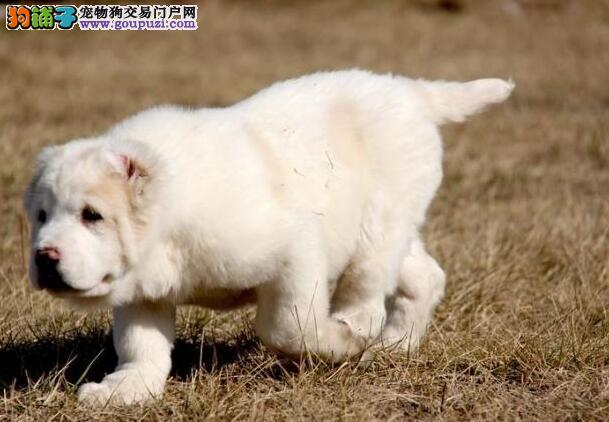 防治尿路疾病 中亚牧羊犬的尿液异常都有哪些原因