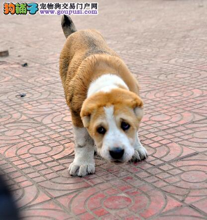 幼犬管理常见问题 刚到家的中亚牧羊犬有哪些饲养难题