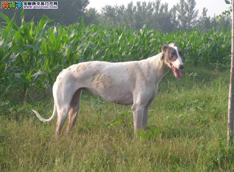 对格力犬身体有潜在危险的三种食物