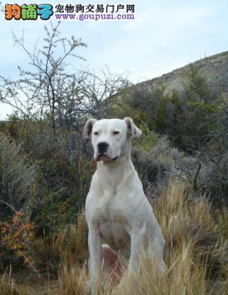 列举杜高犬的饲养工作中常见的几个问题