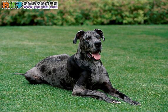 详细介绍如何治疗大丹犬的细小疾病