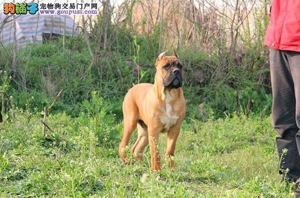 生活有规律 饲养卡斯罗犬幼犬应按照哪些原则