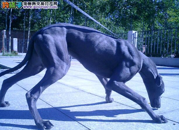 安全治疗 格力犬的犬瘟热特效药的使用方法