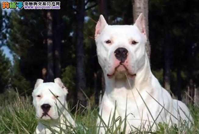 狗狗饮食篇 如何挑选杜高犬的狗粮