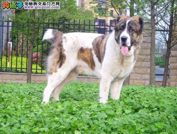 从出生开始饲养 中亚牧羊犬幼犬的饲养管理