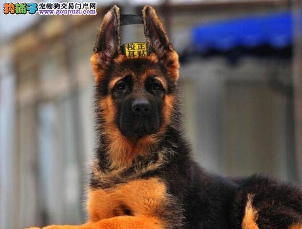 南京专业狗场热销大头锤系德国牧羊犬 品质和服务第一