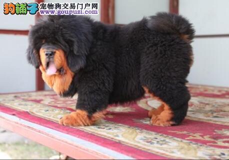 出售威猛i潇洒的藏獒犬 健康证书 血统证书2