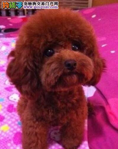 上海售家养茶杯泰迪宝宝贵宾犬小体贵妇犬幼犬公母全有3