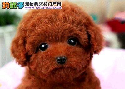 上海售家养茶杯泰迪宝宝贵宾犬小体贵妇犬幼犬公母全有