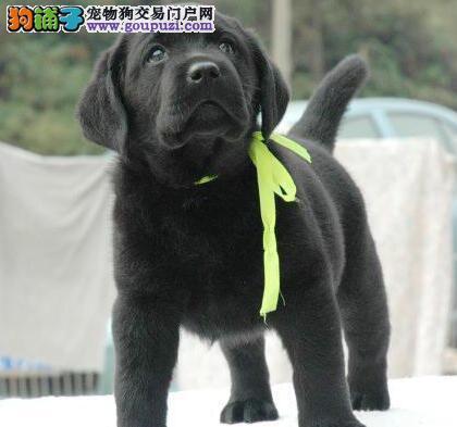 大连狗场特价优惠出售赛级拉布拉多幼犬 骨量震撼
