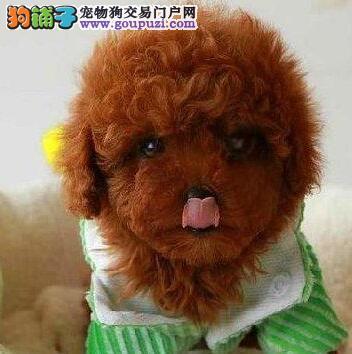 成都特价出售正中韩系精品泰迪熊聪明可爱明智人的选择