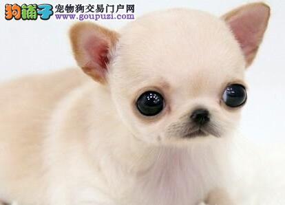 广州大型养殖基地常年直销吉娃娃 公母均有多只可选
