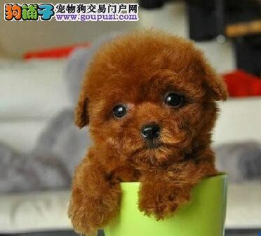 最热门宠物狗韩系血统泰迪熊狗幼犬出售 保证纯种健康