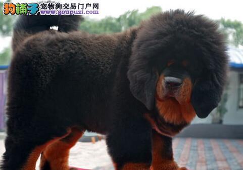 出售威猛i潇洒的藏獒犬 健康证书 血统证书1