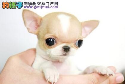 安顺出售吉娃娃幼犬 高品质超小体 墨西哥苹果头茶杯体