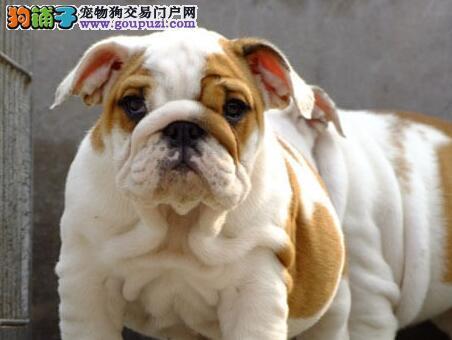 焦作CKU犬业专业繁殖销售英国斗牛宝宝 签订售后协议