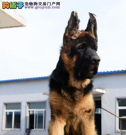 运城售锤系纯种德国牧羊犬 冠军后代高品质签协议