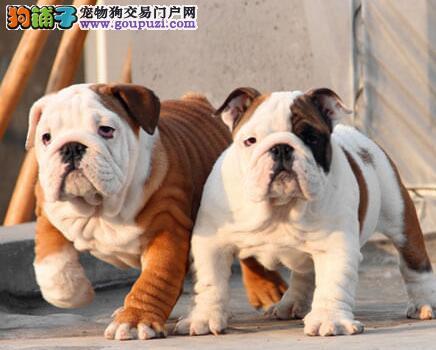北京可爱呆萌英国斗牛犬 英斗萌犬幼犬可协议 售后三包