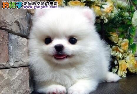 上海诚信犬舍纯种博美幼犬包健康半年包养活送用品