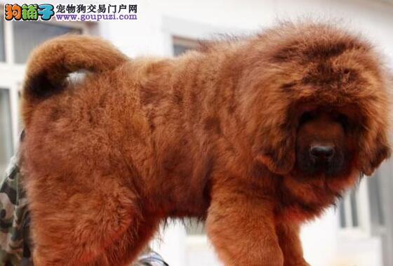 (转让)大狮头、长毛、粗腿、名獒后代、