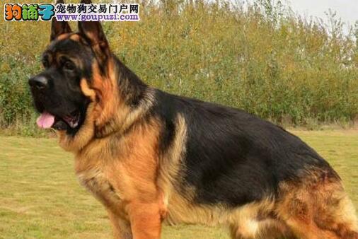 西安繁育基地出售德国牧羊犬疫苗已注射可签售后3