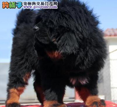 正规獒园出售纯种铁包金金獒幼犬吊嘴吊眼血统质保