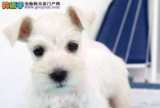 正规狗场自繁自育自销上海雪纳瑞 可办理证书和芯片